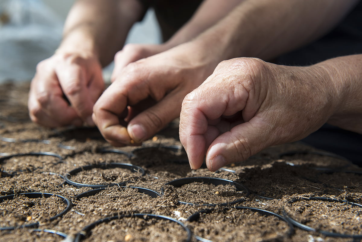 Kolme ihmisen kädet eri sukupolvista istuttavat siemeniä