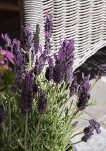 Kuvassa on laventeli. Kuvan taustalla on harmaata laatoitusta ja puutarhakaluste.